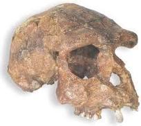 http://2.bp.blogspot.com/_mWAHjg3TE-g/TRL1duk1AaI/AAAAAAAAASg/PXpZPjBysSQ/s1600/Homo+Erectus+Soloensis.jpeg