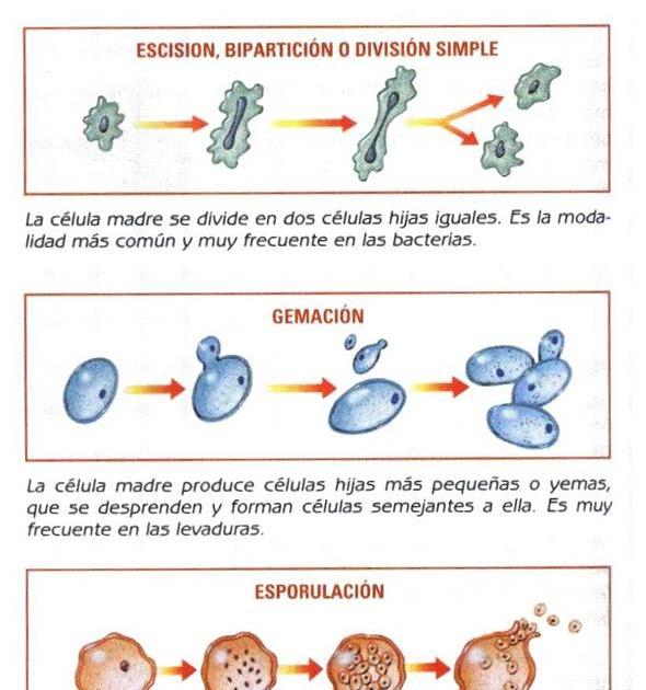 Protistas reproduccion asexual gemacion