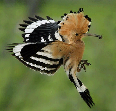free downloading pics of hoopoe bird wikipedia