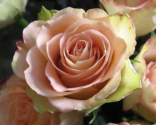 nel mondo di pimpinella le rose antiche profumate diForRose Color Rosa Antico