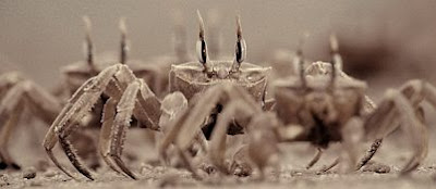 Ghost Crabs