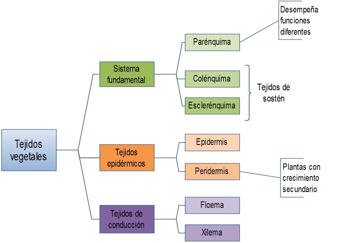 B.log.ia 2.0: Anatomía y fisiología vegetal I: Tipos de tejidos ...