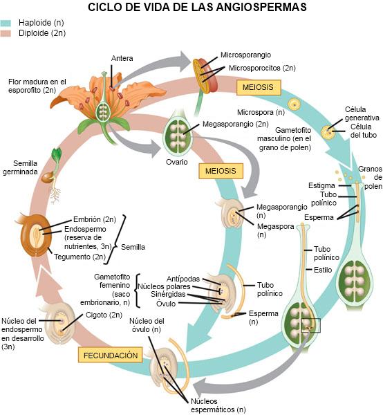 estructura de las plantas angiospermas: