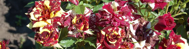 Butasi de trandafiri