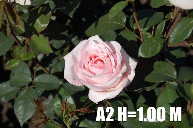 A2 H=1