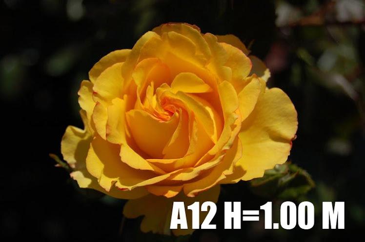 A12 H=1