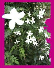 Jazmín pequeña flor que perfuma el ambiente andaluz.