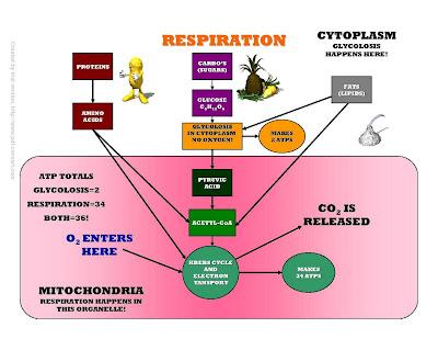 Science World Cellular Respiration