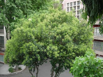 Siglo en la brisa rboles comunes de la ciudad de m xico for Caracteristicas de arboles frondosos