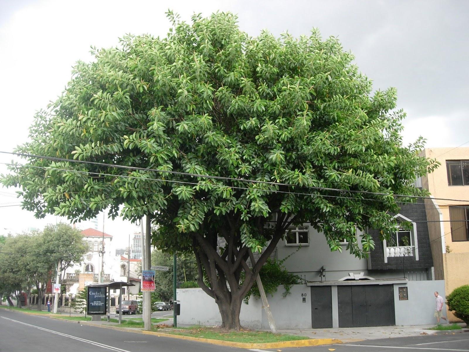 Siglo en la brisa rboles comunes de la ciudad de m xico for Cuales son los tipos de arboles