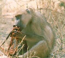 Baboon eating its own offspring