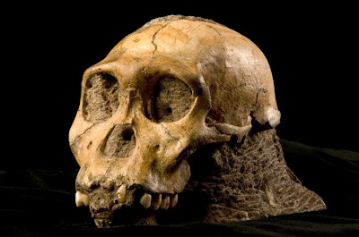 http://2.bp.blogspot.com/_mgmMM5l6YNI/S7_n3QRPNqI/AAAAAAAAAj8/VVL0YLbTpGw/s1600/Australopithecus+sediba.jpg