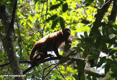 Red Howler Monkey in the Amazon