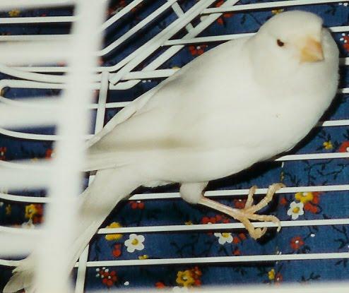 عصفور ابيض جميل White_canary