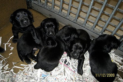 A litter of black Lab puppies