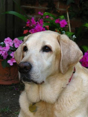 Fostering A Guide Dog Uk