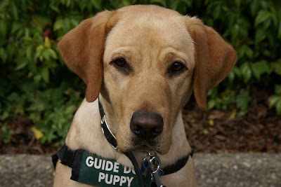 Guide Dog puppy Amena