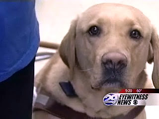 Photo pulled from the video link below of a yellow Labrador Retriever Guide Dog in harness looking at the camera
