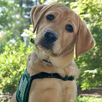 A yellow lab puppy is pictured tilting his head listening
