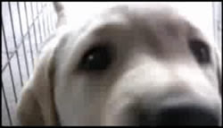 Photo of a yellow lab puppy nosing at the video camera