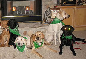 Photo of guide dog puppies wearing green scarves lined up together