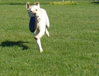 Culver running with a frisbee in his mouth