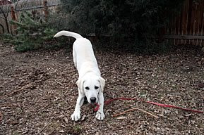 Franco, a yellow lab, pictured on his long leash