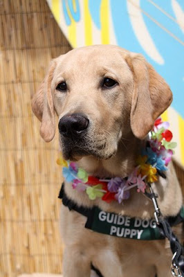 Yellow Lab puppy Neils wearing a Hawaiin lei