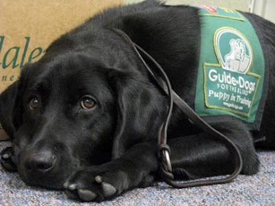 Guide Dog puppy Faulkner