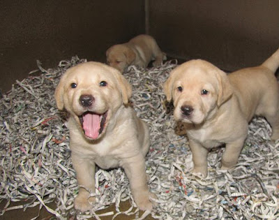 Cute baby Labrador Retrievers