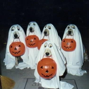 Yellow Labs dressed as ghosts and holding pumpkin-shaped goody bags in their mouths