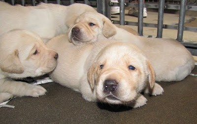 A pile of baby yellow Lab pups
