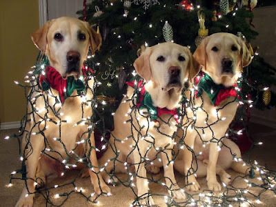 GDB dogs sport colorful red and green collars and white twinkle lights