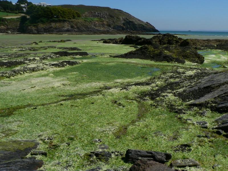 Marée verte à Crozon, plage de Postolonnec