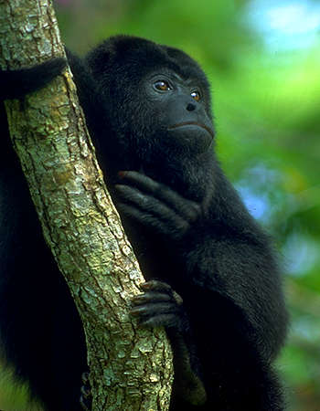 black howler monkey alouatta pigra holding tree trunk bark green rainforest photo