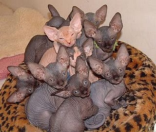 Testing - no more SpecialOne Hairless+cats-1