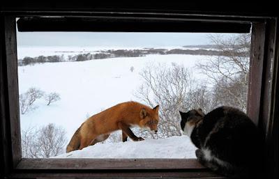 FOTO] Liat Aksi Kucing vs Rubah , Grrr ~ Pasar Unik