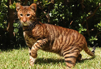 7 Cat Breeds That Look Like Wild Animals  iHeartCatscom