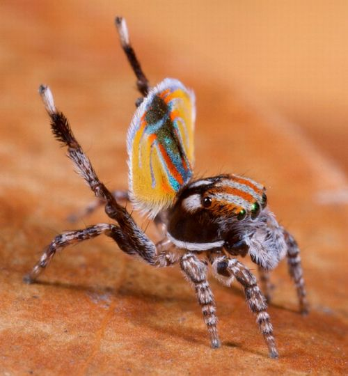 [peacock-spider-03.jpg]