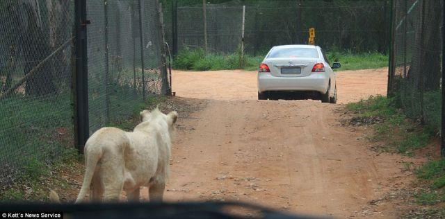 http://2.bp.blogspot.com/_mmBw3uzPnJI/SwKniYUsssI/AAAAAAAA3PA/oyS_QyIjkiU/s1600/lion_opens_car_door_06.jpg