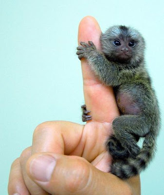 Finger Monkey Seen On www.coolpicturegallery.us