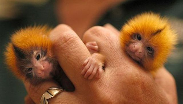 Small As Your Finger But They Are Not Insects But Monkeys - Finger Monkeys