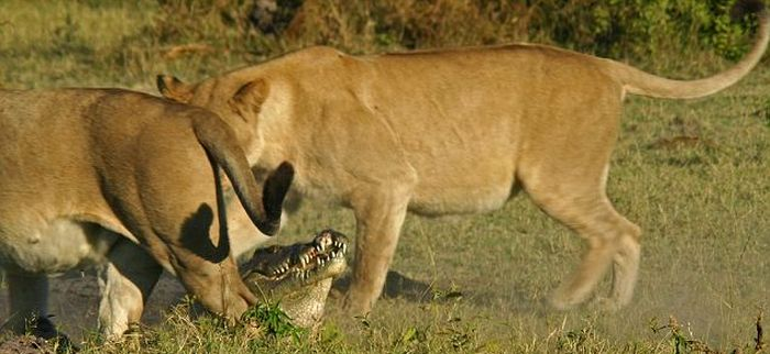 Cool Animals Pictures: Three Lionesses vs Crocodile
