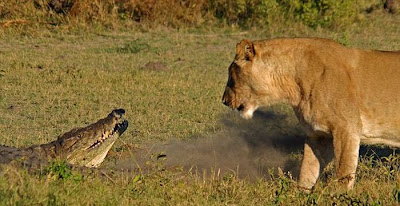 Three Lionesses vs Crocodile Seen On www.coolpicturegallery.us