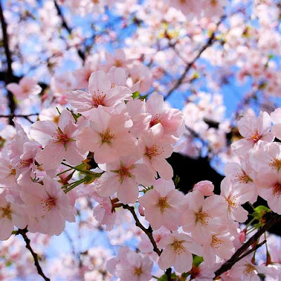 meaning of sakura flowers   meaning of flowers, Natural flower