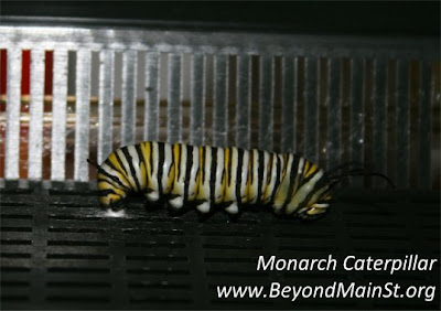 monarch attached