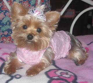 Popular Around 130 Pm May 4, The Suspect Walked In Pretending To Be A Vendor And Took A Black And Brown Tea Cup Yorkie Puppy From A Window At R And K Dogs Grooming On East Tremont Avenue, According To The NYPD, And It Was All