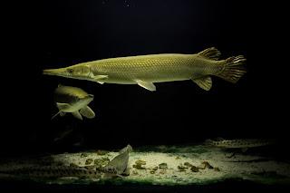 Feesh and Feesh: Fish In Today: Manfari/ Cuban Gar