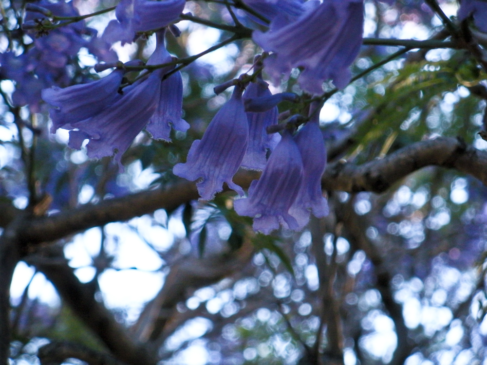 Committed stitcher pretty purple flowers in the spring these trees with purple flowers bloom along the streets theyre beautiful even if they have sticky sap i have no idea what kind of tree it mightylinksfo