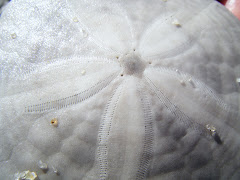 Sand Dollar mom found on the beach